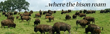Grass Fed Buffalo Meat, Natural Grass Fed Buffalo Meat for Sale